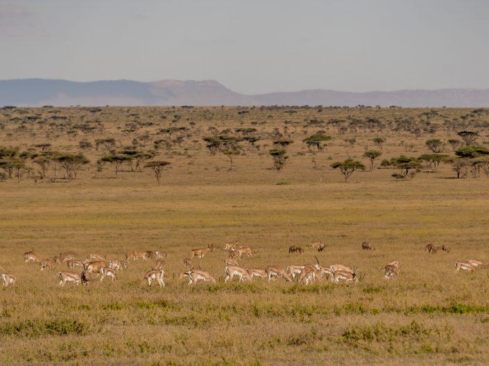 Serengeti, game drive, ngorongoro, krater, mawe, sonyalpha, safari, löwen, lion, tansania, tanzania, camp