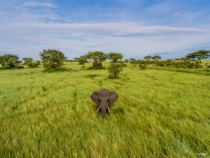 Queen Elizabeth, Katwe, Mweya Lodge, Safari, Game drive, Lions, tree, Ishasha, Kazenga, Elefants, Buffalos, Elephants, Büffel, Löwe