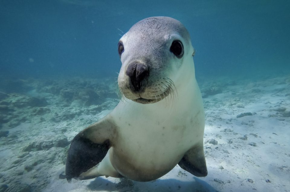 Swimming with Seal Lions, Green Head, WA