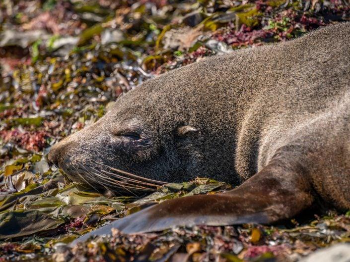 whalewatching, Wal, Waltour, Kaikoura, Delphine, Seelöwen, sealion, dolphin, Maori