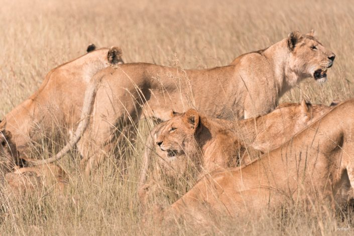 Kenya, Safari, Massai, Lion, Löwe, Aberdare, Nationalpark, Countryclub, Animals, Tiere, Ark, Leisure Camp, Eastafrica, Ostafrika, Kenia