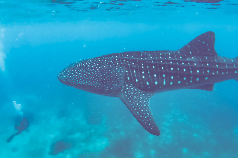 swimming with the whalesharks
